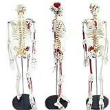 Bestdental New Stand 85cm Human Anatomical Anatomy Skeleton Medical Teaching