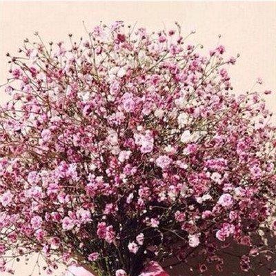 Daisy Starry graines de fleurs 100 Four Seasons intérieur des plantes et des fleurs en pot balcon fleurs automne et en hiver charnue