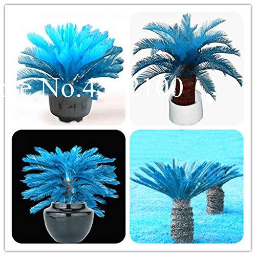 Bloom Green Co. 100 Stück Mini-Blau Cycas Bonsai, Sago Palme Revoluta Bonsai Sementes Topfevergreen Diy Anlage für DIY Hausgarten Deco: 30 Stück -