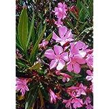 TROPICA - Laurier Rose (Nerium oleander) - 50 Grains
