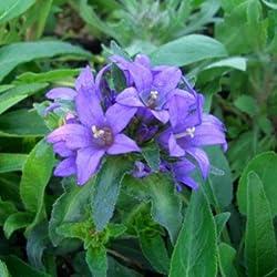 Knäuel - Glockenblume ( Campanula glomerata ) blau