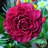 Best-vendita! 100 Seed / Lot Black Rose Camellia Semi Piante in vaso da giardino semi di fiore in vaso ornamentali piante comuni, # JH8HPA