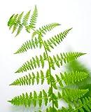 Farn Wald-Frauenfarn Athyrium filix-femina Bodendecker verschiedene Größen