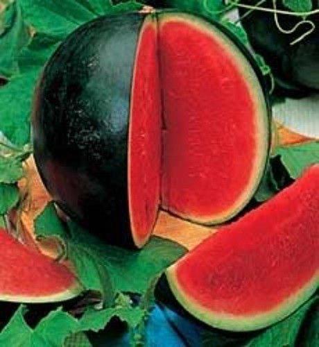 Wassermelone Samen: Bush Sugar Baby Wassermelone Samen Frische Samen 12