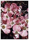 """TROPICA - Corniolo da fiore - rosa - (Cornus florida """"rubra"""") - 15 Semi- Resistente al freddo"""