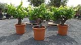 XXL Vitis Vinifera, alter Weinstock, knorrige Weinrebe, Weintraube, Trauben, 30 Jahre alt, dunkle Weintraube