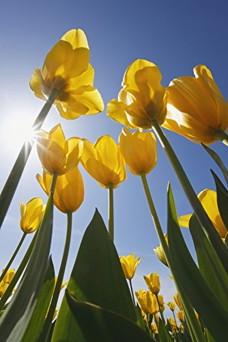 craig-tuttle-design-pics-yellow-tulips-against-a-blue-sky-at-wooden-shoe-tulip-farm-woodburn-oregon-