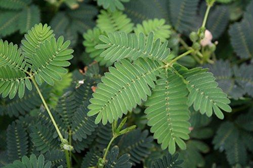 mimosa-pudica-sensitiva-vaso-9cm-fogliame-sensitivo-decorativo-ornamentale
