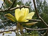 10Ornament Magnolie?Magnolia SSP (gelb Blumen)