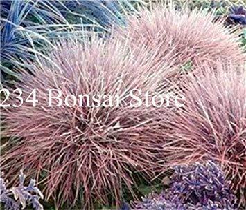 200 Stück Rare Farbe Schwingel Gras Bonsai - (Festuca glauca) Perennial Hardy Ornamental Schöne Gras-Anlage für Hausgarten-Dekor: 21