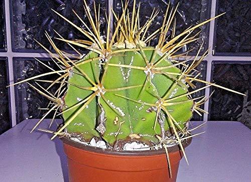 Bio-Saatgut Nicht nur Pflanzen: Lg Astrophytum ornatum VAR. mirbelii 100 Samen in weiten 4 100 Samen in tl by FäHRE