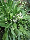 Bärlauch, Allium ursinum im 9cm Topf
