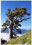 TROPICA - Himalaya Zeder (Cedrus deodara) - 35 Samen