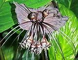 Tacca Chantrieri Black – schwarze Fledermausblume – 5 Samen