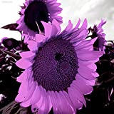 Portal Cool D2E5 Lila Riesen-Sonnenblume -Helianthus Annuus-100 Blumensamen-Large-Pack 1324