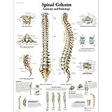 3B Scientific Spinal Column Chart