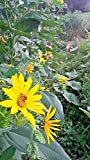"""PLAT FIRM Germinazione dei semi: TOPINAMBUR (sunchokes) - 6""""seme"""" tuberi. Autunno fiori, facile da coltivare!"""