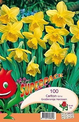 XL Großblumige Narzissen Carlton 100 Stück von VDG DO Blumenzwiebeln bei Du und dein Garten