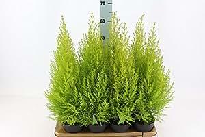 Blumen-Senf Cupressus macrocarpa 'Goldcrest Wilma' 50-55 cm Topf Ø 14 cm Zimmerzypresse