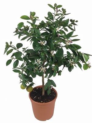 Limettenbaum , 80 cm Höhe mit Blüten und Früchten von Weseler Kräuterparadies - Du und dein Garten