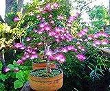 Fash Lady Hellgelb: 20 Stück Bonsai Albizia Blumensamen Genannt Mimosa Silk Tree Seed Seltene Garten Topfpflanzen Rainbow Flowers Pot * diy Pflanze Geschenk Hellgelb
