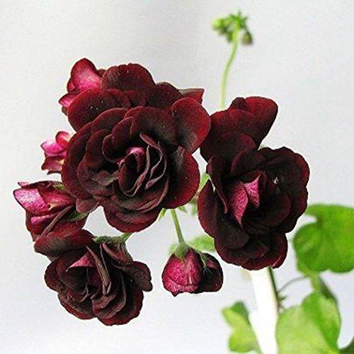 WuWxiuzhzhuo 20Pcs Rare Geranien Blumen Samen, Rose Pelargonium Pflanze mehrjährig Dekoration 1 -