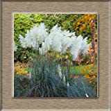 AGROBITS 100pcs New Rare Beeindruckend Lila Pampas-Gras Bonsais Zierhausgarten Pflanzen Blumen Bonsais Cortaderia Selloana: weiß