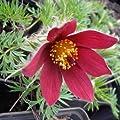 lichtnelke - Küchenschelle (Pulsatilla vulgaris) rot von Lichtnelke Pflanzenversand auf Du und dein Garten
