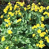 PLAT firm-semi di piante Mondo Seeds - Caltha palustris Seeds
