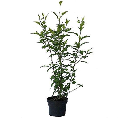 Müllers Grüner Garten Shop Roseneibisch Woodbridge Hibiscus syriacus pinke offene Blüte ca. 40-60 cm Pflanze im 3 Liter Topf