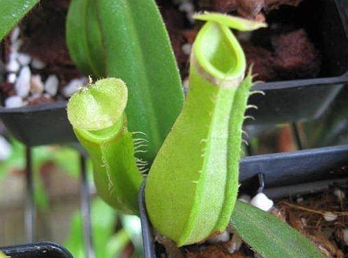 nepenthes-albomarginata-purple-green-var-giant-plantas-jarro-planta-de-copa-de-mono-5-semillas