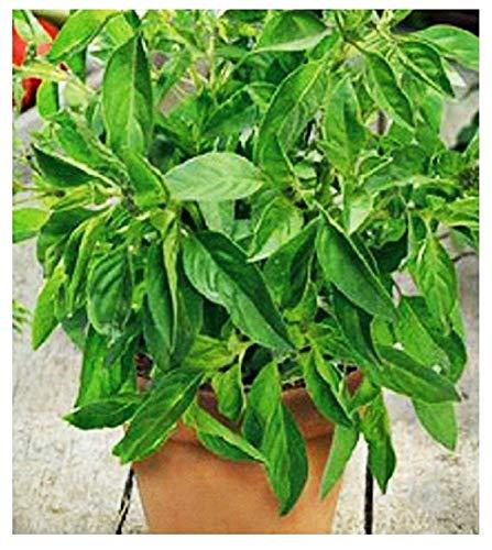Zitronen - basilikum - samen - gemüse - ocimum citriodorum - ca. 900 samen - die besten pflanzensamen - blumen - seltene früchte - gemüsespezialitäten - originelle geschenkidee