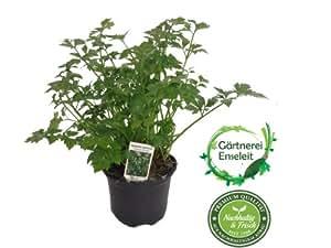3 Pflanzen, Schnittsellerie, Apium graveolens var. secalinum, Würzsellerie