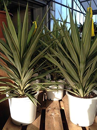 Yucca elephantipes Jewel Hauteur totale 80/100 cm