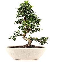 The Bonsai Plants Alluring Carmona Bonsai Plant