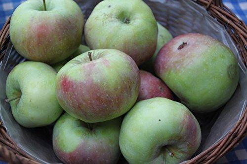 Apfel Ontario Viertelstamm wurzelnackt, 90 cm Stammhöhe inkl. Pflanzschnitt