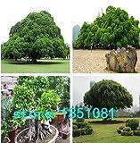 Pinkdose Chinesische Seltene Chinesische Feige-Baum-Samen 100pcs China Roots Sementes Bonsai Ginseng Banyan Garden Baum im Freien Pflanzer: Mehrfarbig