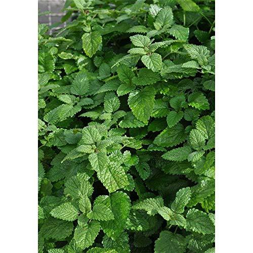 Zitronenmelisse 'Fit', Melissa officinalis 'Fit', Pflanze im Topf 11 cm