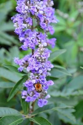 Mönchspfeffer Vitex agnus castus 40 - 60 cm hoch im 5 Liter Pflanzcontainer von Plantenwelt Wiesmoor auf Du und dein Garten