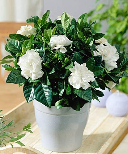 Qulista Samenhaus - Duftend Gardenie dekorative zimmerpflanze pflegeleicht Baum Saatgut Blumensamen exotisch winterhart mehrjährig Kübel- und Zimmerpflanze