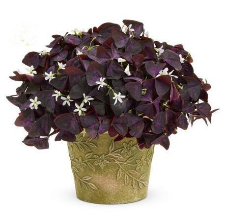 100 Oxalis Red Oxalis Fleur Oxalis pourpre Trèfle 100% graines de bonsaï Real fleurs vivaces en plein air pour le jardin de la maison