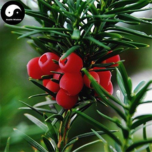 Kaufen Taxus chinensis Baumsamen 120pcs Pflanze Chinesische Eibe Hong Dou Shan