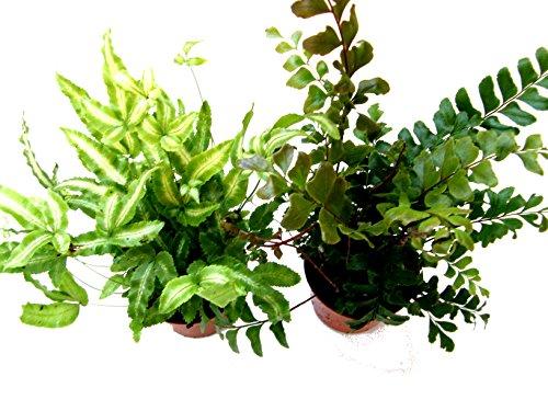 Mühlan Pflanzenhandel 2 Töpfe Farn, Farne für Terrarium, Paludarium