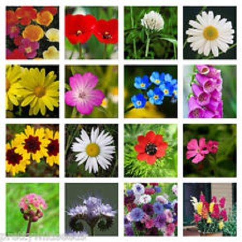 10g-meadow-wild-flower-butterfly-bee-mix-16000-seeds-poppy-cornflower-oxeye-daisy