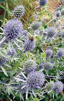 JustSeed Eryngium planum, Meer-Mannstreu, Blumen, 100 Samen