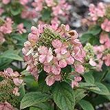 Hydrangea Paniculata 'Dart's Little Dot'- Hortensia paniculé 'Dart's Little Dot' 30-40 cm en conteneur