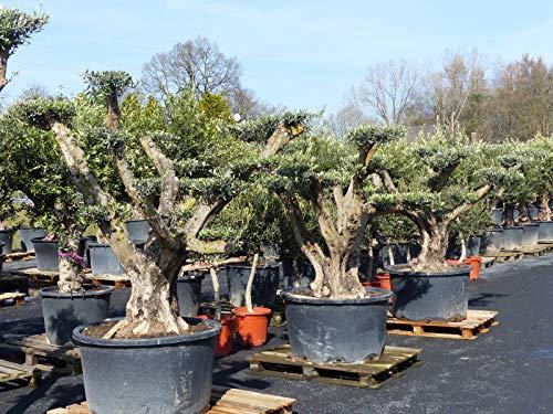Olivenbaum Bonsai MEGA Pon Pon, 200-220 cm, Olive winterhart Formgehölz