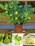 Pinkdose 20pcs / bag Kaffernlimette Samen, Kalk Samen, (Citrus aurantifolia), Bio-Obst Samen, Früchte BONSAIS Zitronenbaum für den Garten zu Hause