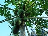 10 Samen Carica papaya, Papayabaum
