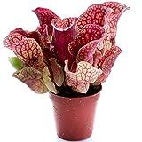 Swampworld Becher - Fleischfressende Pflanze - Schlauchpflanze